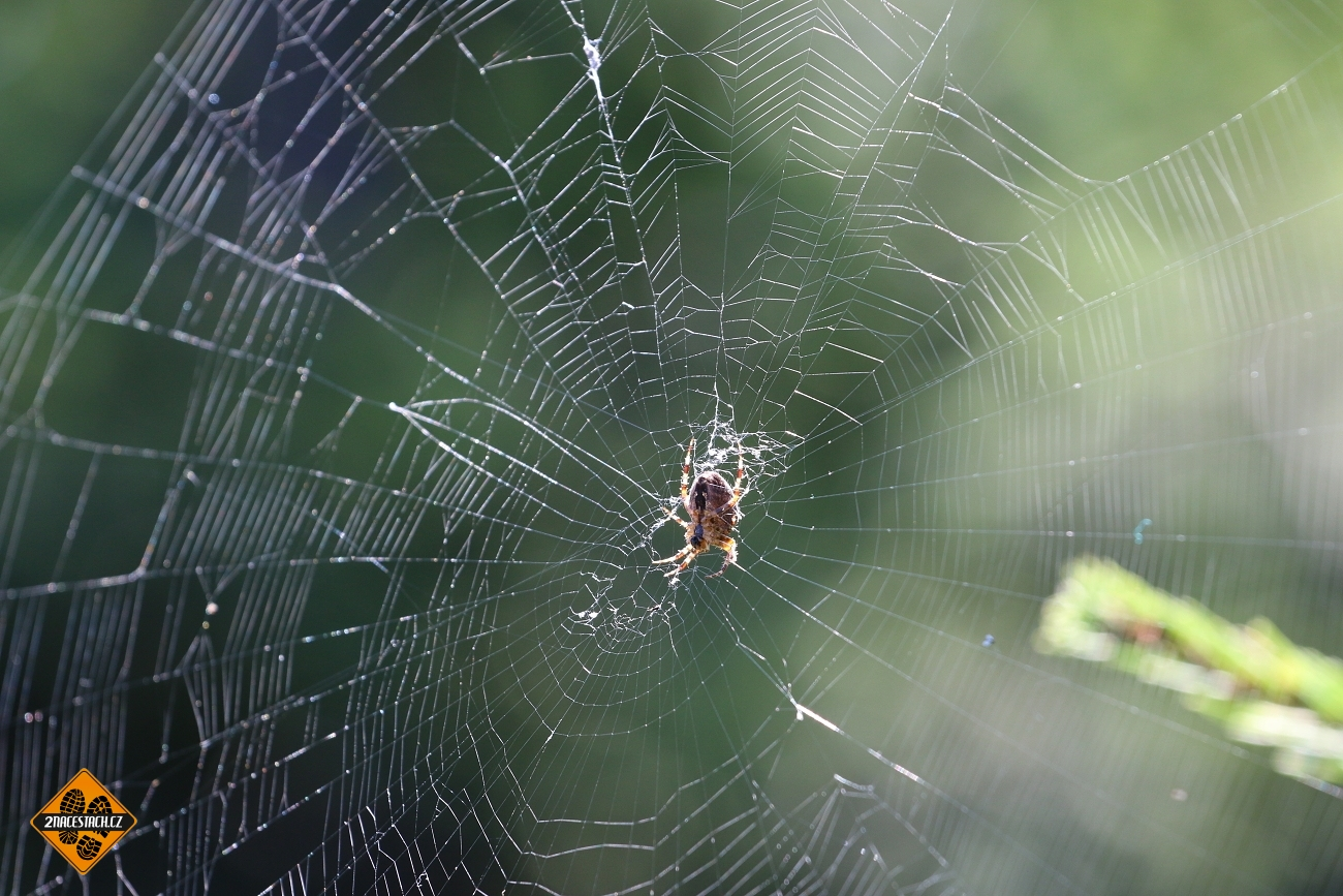 Pavouk v síti