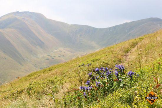 horský zvonek, nízké tatry